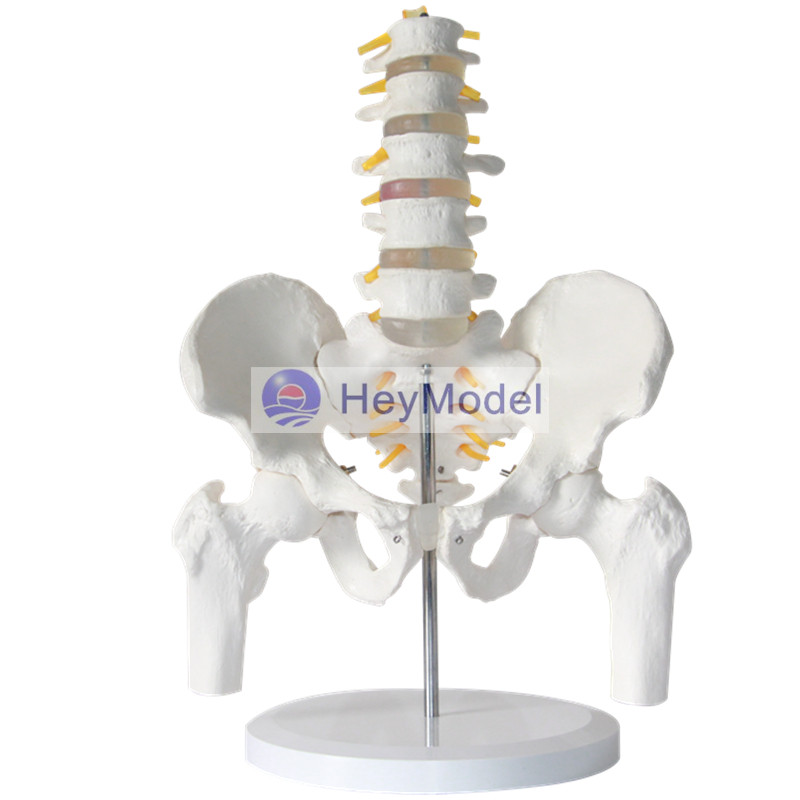 HeyModel Lumbar spine model with pelvis and femur spine intervertebral disc pelvis model five lumbar spine vertebral column model with pelvis femur heads and sacrum 45cm spine model with intervertebral disc