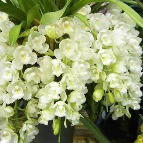 120 Pz Colore Bianco Fiori In Vaso Semi Di Orchidea Cymbidium Cicala Orchidea  Cymbidium Quando La