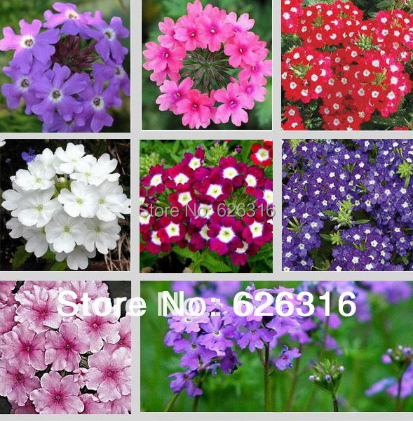 90pcs/lot Verbena Seed Mix Color Red Blue Whie Purple Garden Flower Seed POT  PLANT GARDEN BONSAI FLOWER SEED DIY HOME In Bonsai From Home U0026 Garden On ...