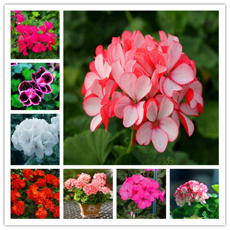 100 Pcs Colorido Bonsai Gerânio Gerânio Flor Rara Variegada Quartos Início Jardim vaso de Flor Vaso de Bonsai Interior Para Bonsai Planta
