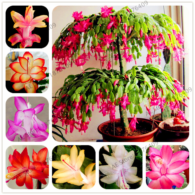 100pcs/bag Schlumbergera flores Christmas cactus plantas,bonsai plant for home and garden,mixed color,easy to plant fake rose flowers