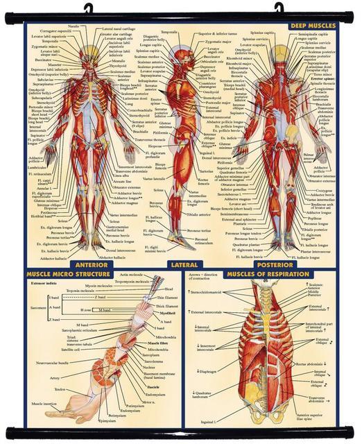 Free shipping, Human Body Anatomical Chart Muscular System Fabric ...