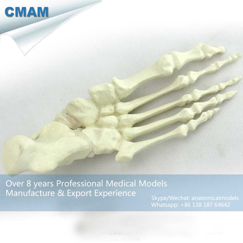 No. 12323 , Human Foot Bone, Model of Orthopedics Implantation Practice, CMAM china medical anatomical models no 12314 hip and femur bone model of orthopedics implantation practice cmam china medical anatomical models