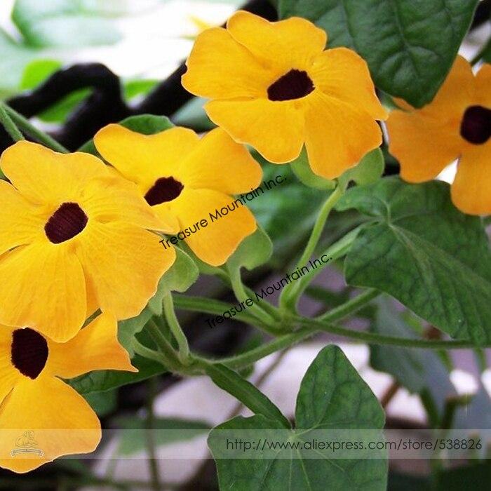 popular climbing annual flowersbuy cheap climbing annual flowers, Natural flower