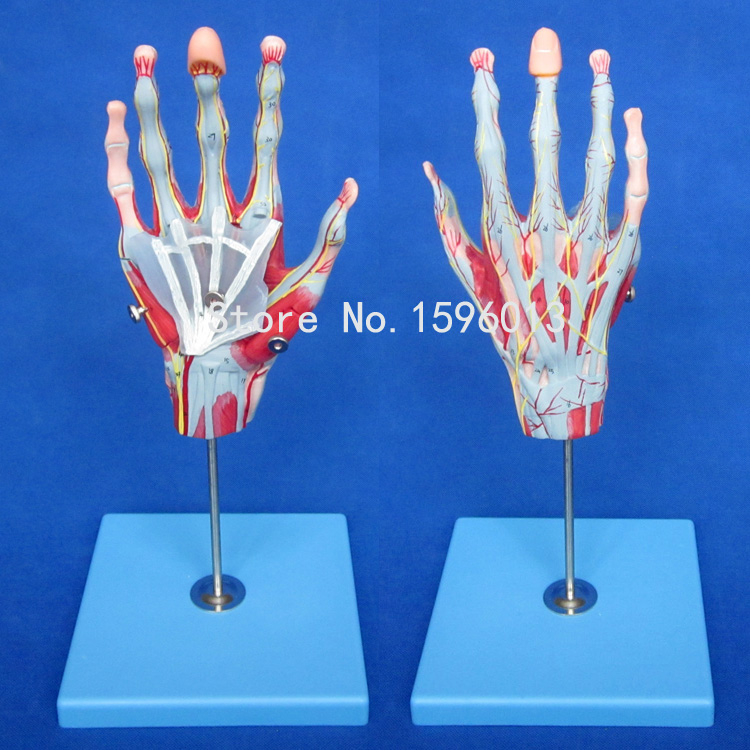 Muscles of Hand with Main Vessels and Nerves model, hand muscles model life size hand joint with ligaments the palm of your hand with ligament model