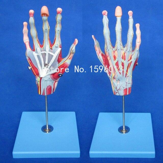 Aliexpress.com : Muskeln der Hand mit Hauptgefäße und Nerven modell ...