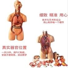 Модель амфотерные туловища (19), съемный висцеральной анатомическая 55 см / 42