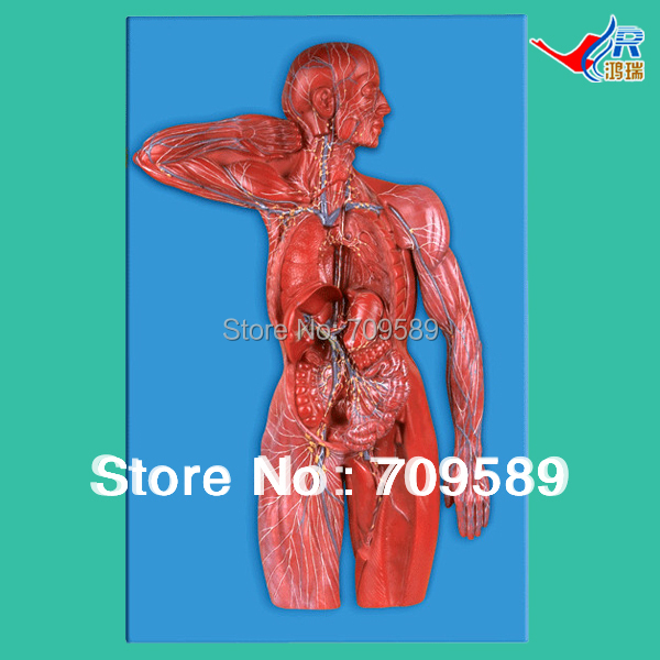 ISO Detailed Anatomical Model of Lymphatic System iso median section of head model anatomical head model