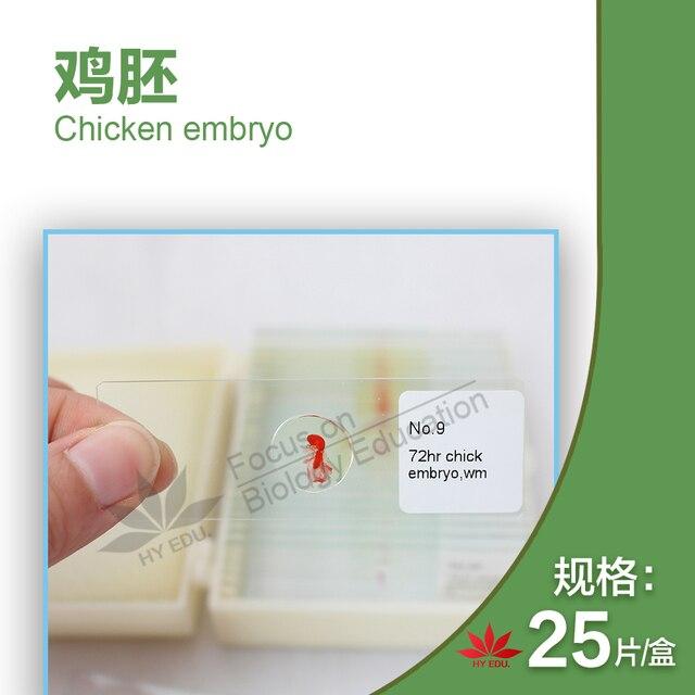 44 pièces Embryologiques Spécimen Tranches 24/48/72/96 Heures 15 Variétés de Lembryon de Poulet Série Section Microscope