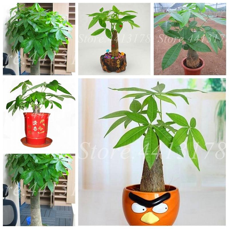 1pcs Mini Pachira Macrocarpa Flores Money Tree Plantas Hawaiian Make Money Tree Plant Mini Bonsai Tree For Home Garden Planting