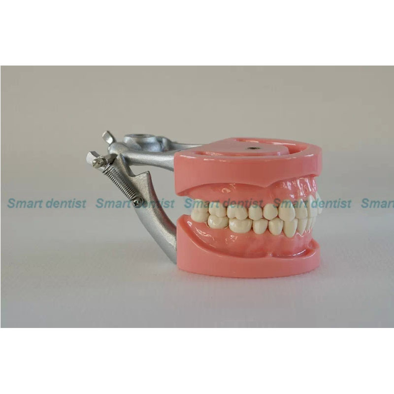 2016 CMAM-DA06 32pcs Teeth Hard Gum Removable Teeth Dental Model hot teeth development models teeth and jaw development model dental teeth models