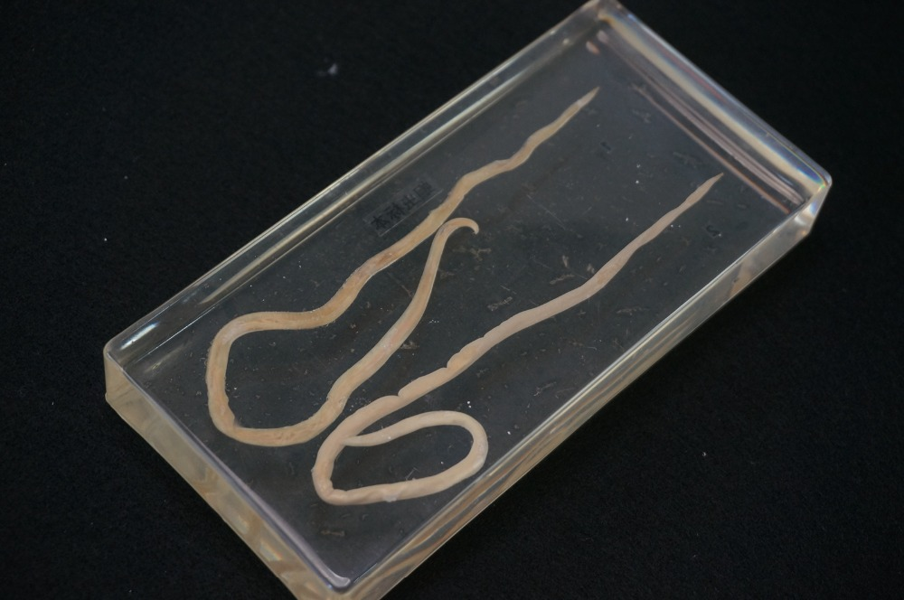Real Roundworm Specimens In Clear Lucite Block Educational Instrument fishbone fispecimens in clear lucite block educational instrument middle school biology school teaching aids