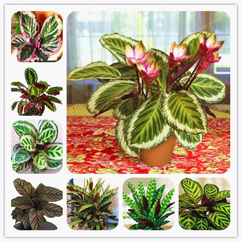 50 шт. Редкие Calathea карликовые деревья освежители воздуха растения красивые цветы бонсай офисный стол для цветов садовые украшения