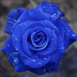 9999 шт./пакет экзотические, синий цветок розы завод, 100% натуральная редкие китайские розы прекрасный бонсай горшках для дома и сада горшок