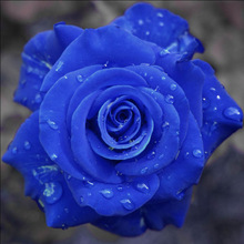 9999 pcs/ bag Exotic ,Blue Rosa Flower Plant, 100% Genuine Rare Chinese Roses Beautiful Bonsai Potted for Home & Garden Pot стоимость