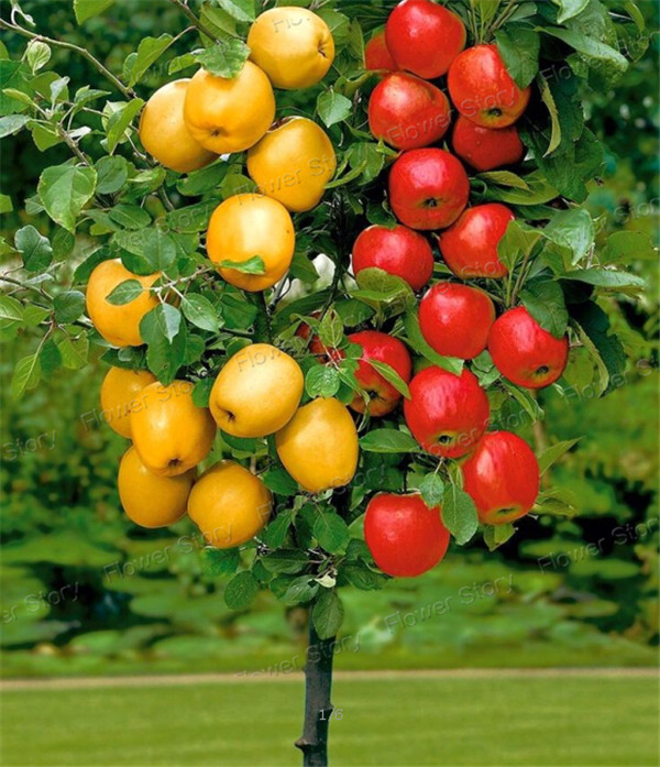 bonsai apple tree 20 seeds pick delicious fruits in your backyard