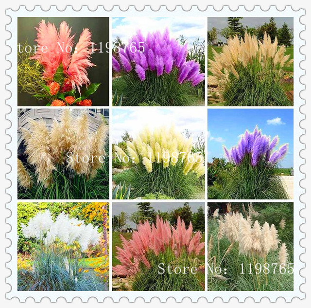 Pretty flowers seed rare purple pampas grass garden plant flowers pretty flowers seed rare purple pampas grass garden plant flowers cortaderia selloana flower seeds 100pcs mightylinksfo Image collections