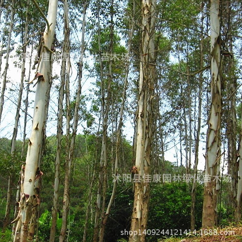 Eucalyptus arbre bonsaï plante eucalyptus arbres Eucalyptus grandis queue blanc diesel arbre bonsaï 200 g/paquet