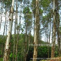 eucalyptus tree bonsai plant eucalyptus trees Eucalyptus grandis tailed white diesel tree bonsai 200g / Pack