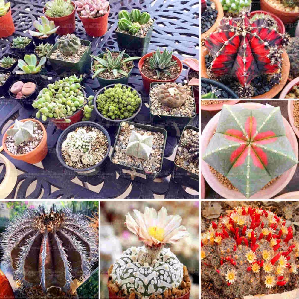 200pcs Real mini cactus seeds, rare succulent perennial herb plants,bonsai pot flower se ...