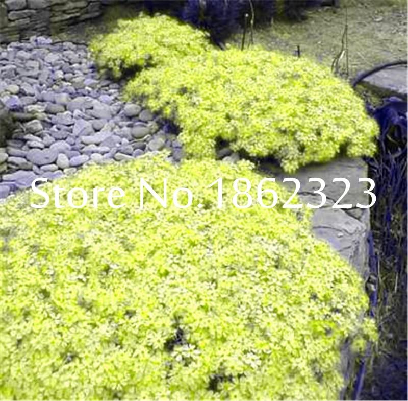 200pcsbag Creeping Thyme Bonsai Rare Color Rock Cress