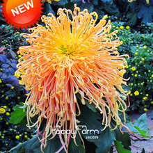 New Fresh Seeds 100 pcs/pack Rare Fireworks Orange Yellow Chrysanthemum Seeds Morifolium Seeds DIY Gardening Flower Plant,#4Y6H4