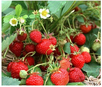 beautiful faery ornamental strawberry fruit and vegetable