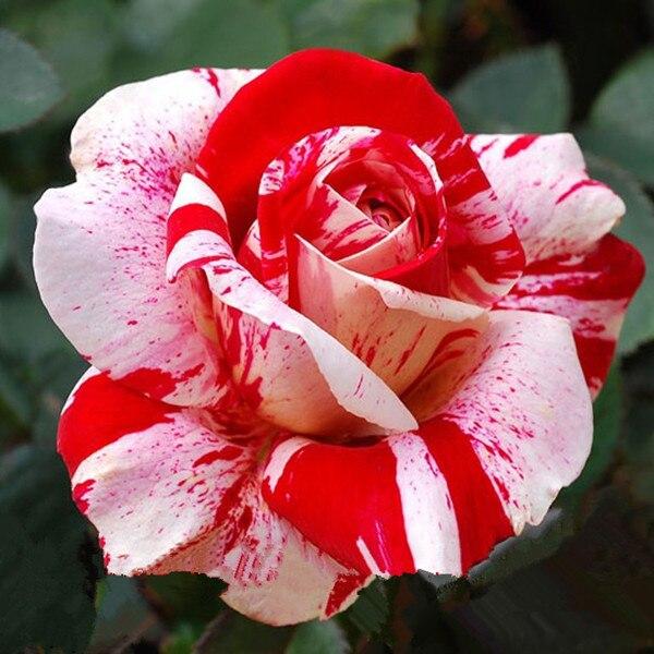 Rare stripe rose bush seeds,Beautiful Garden Bonsai Exotic ...