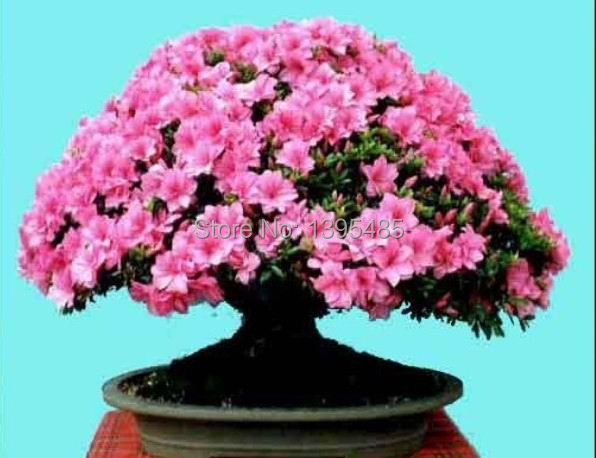 1 Professional Pack, approx 10 Seeds / Pack, Dark Red Apple Flowering Plant Bonsai Tree Seed