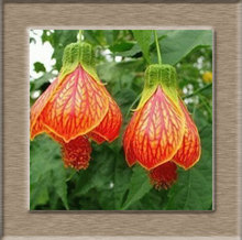 fuchsia seeds, potted seed,  fuchsia flower seed Garden plants, perennial planting, 200 seeds