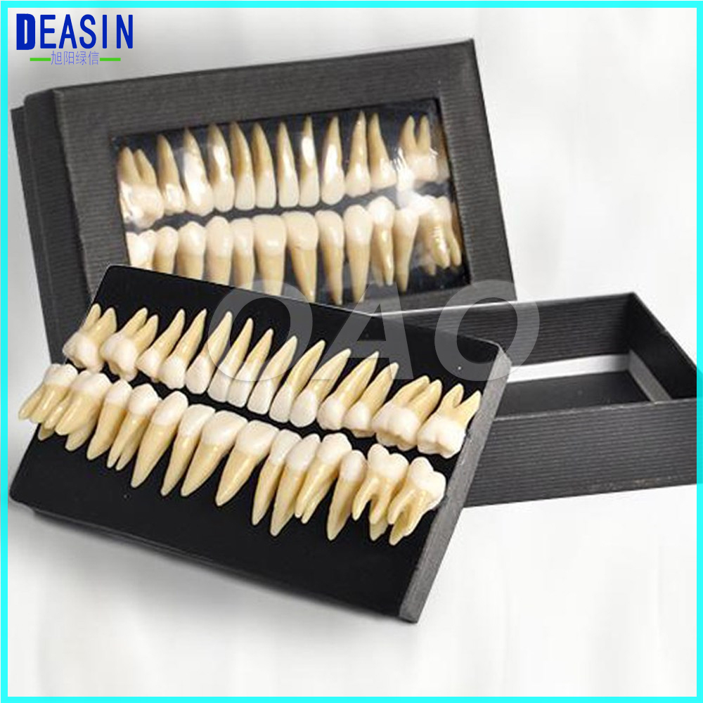 High Quality Dental Oral 28 PCS Adult Permanent Teeth Models Full month Dental gift Communication Tooth
