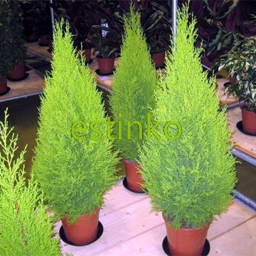 80pcs/lot Cypress Trees Platycladus Orientalis Oriental Arborvitae Seeds Conifer Bonsai Tree Seeds Home Garden Plant