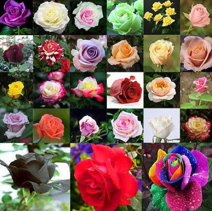 200pcs Mixed Style Rare Plants Decor Multi-Colors Rose Peony Flower Seeds