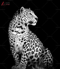 Black white Spots Leopard