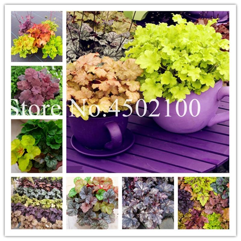 50 stk sjaldan, innflutt bonsai geyher bonsai, Coral blóm, Coral bells (kápa) bonsai planta fyrir heimabakað ...