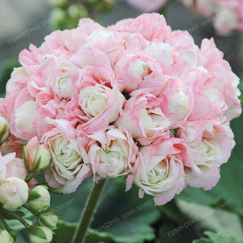 Zeldzame Geranium-appelbonsai Bloesem Rosebud Pelargonium balkonbloemen Pelargonium-seizoenen in potten Kiemen 95% 20 stuks