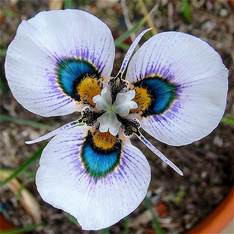 100-Ngũ cốc-Rare-bướm-Orchid-Hạt-hoa-Hạt-nhà-Chậu-Orchid-Cây-Rất-Dễ-Plant-Graines