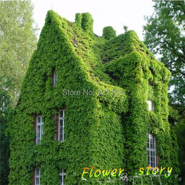 40 Bostonian Ivy Wall Parthenocissus Tricuspidata Veitchii Vine Climbing Foliage Plants Flower Seeds Sowing Seasons Yi