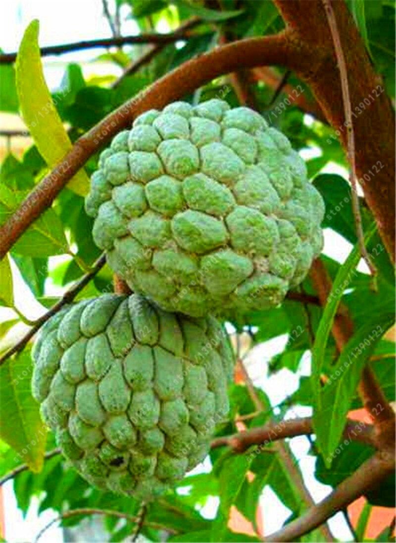 Small Of Sugar Apple Tree