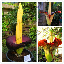 "10 seeds Corpse flower,the Titan arum is also known as the""Corpse flower""or""Corpse plant"" biggest flower(China)"