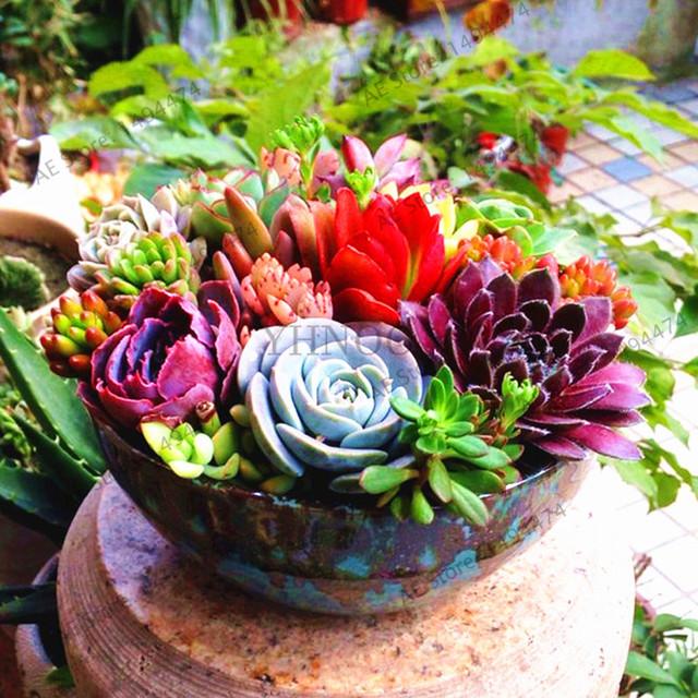 Lithops Flores Living Stones Succulent Seeds (1000 Pieces)