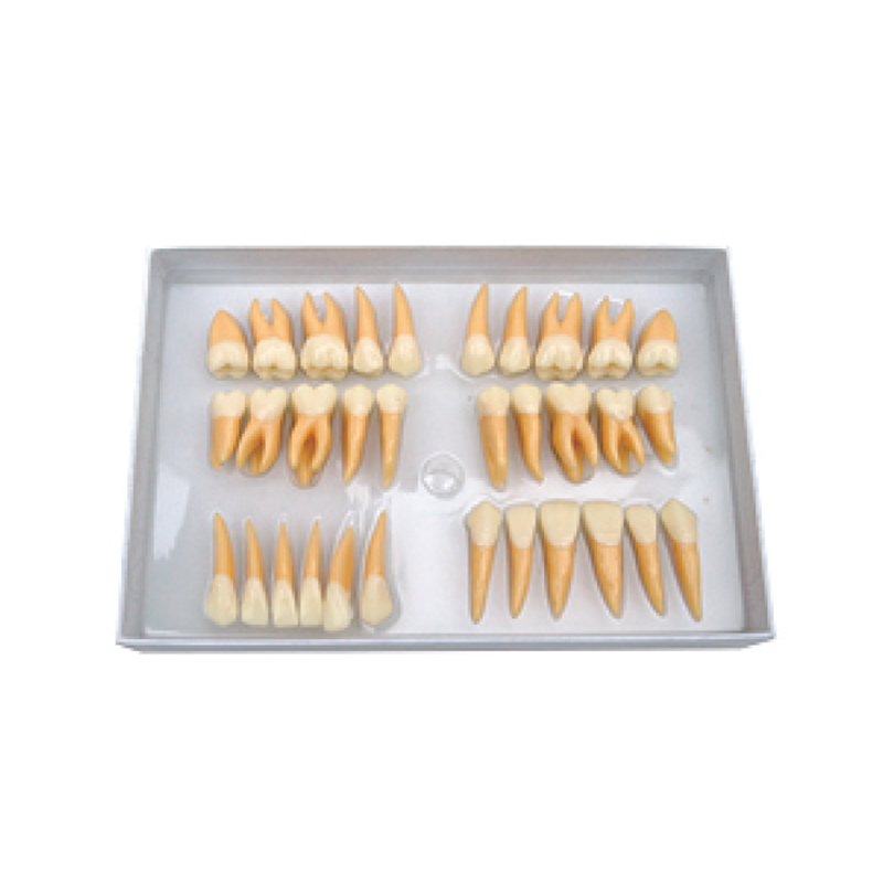 1Set Dentist products Tooth Models Permanent Teeth Model Twice Permanent Teeth free shipping model of abnormal 10pcs 1set typodont orthodontic models dental tooth teeth dentist dentistry anatomical model
