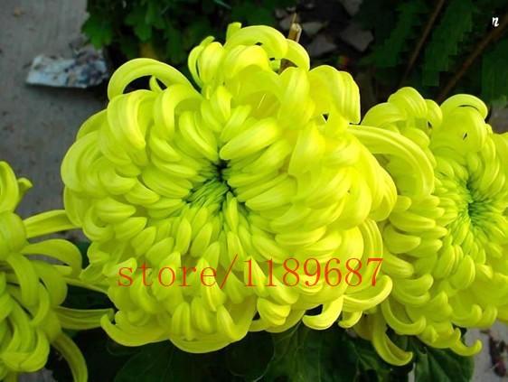 1-Pack100-Seeds-African-Marigold-Flower-Seed-Tagetes-Garden-Flower