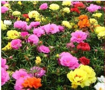 perfume1 Pack 100 Seeds Sun Plant Flower Seed Portulaca