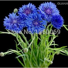 bleuet bleu fleur-achetez des lots à petit prix bleuet bleu fleur