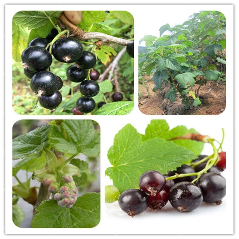 Bonsai Černý rybízový olej 100 ks. ovoce bonsai černý rybíz bobule bush bonsai organické ne gmo lahodný ovoce bonsai