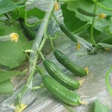 "20 Cucumber ""Spacemaster Bush"" Seeds~healthful"