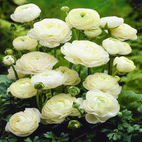 100 Pcs White Ranunculus Seeds Diy Potted Plants Seed Germination Rate Of 95 For Home Garden
