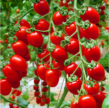 200 pcs/bag cherry tomato,tomato tree seeds,Organic Heirloom vegetable fruit seeds,sweet and heathy for home garden planting