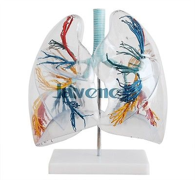 Magnify Human Anatomical Lungs Anatomy Medical Model Respiratory System human female pelvic section anatomical model medical anatomy on the base